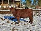 Registered open heifer
